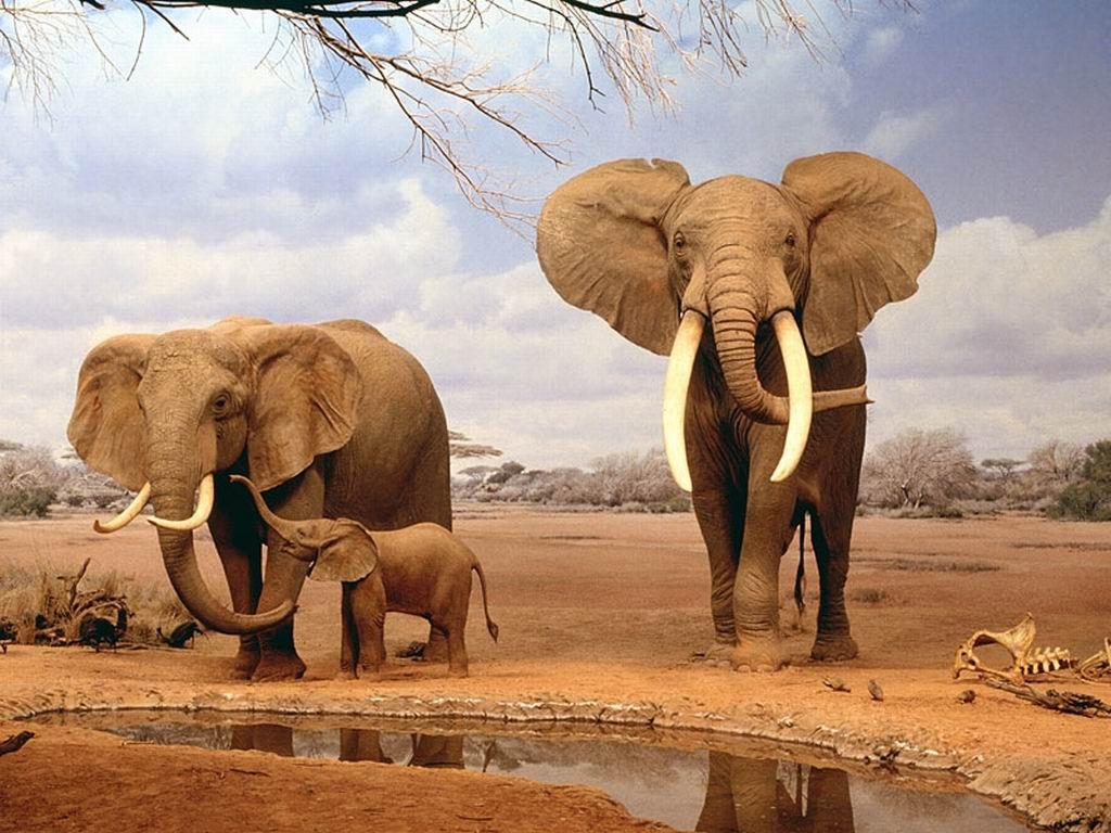 Http://www.marotochi.it/immagini/sfondi/elefante%202
