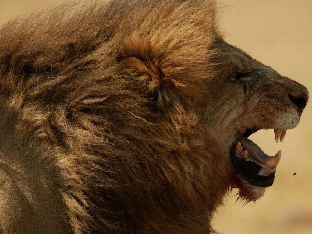 Marotochi sfondi for Sfondi leone