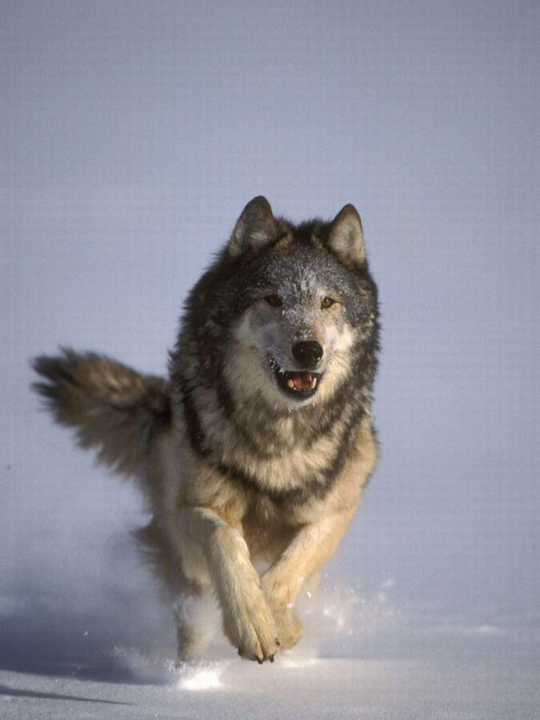 Risultato immagine per lupo