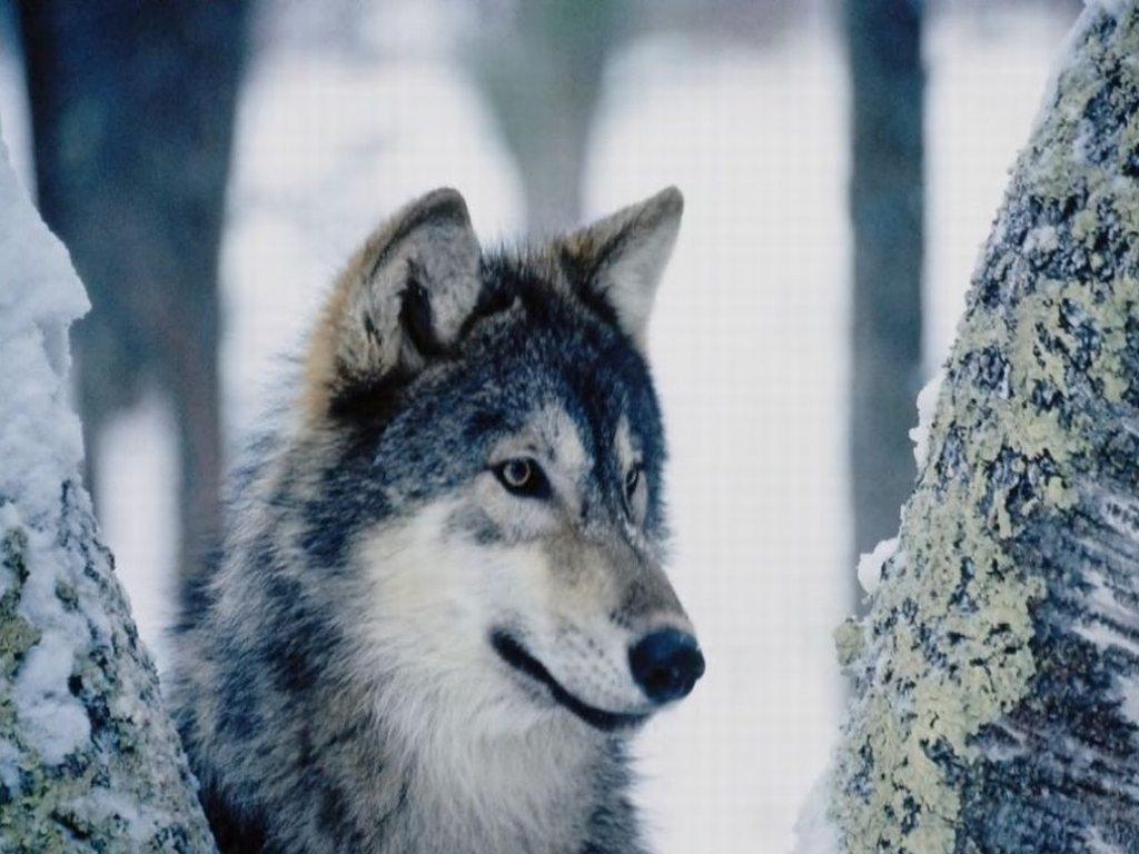 Lupo lupi mammifero mammiferi carnivoro carnivori selvatico selvatici