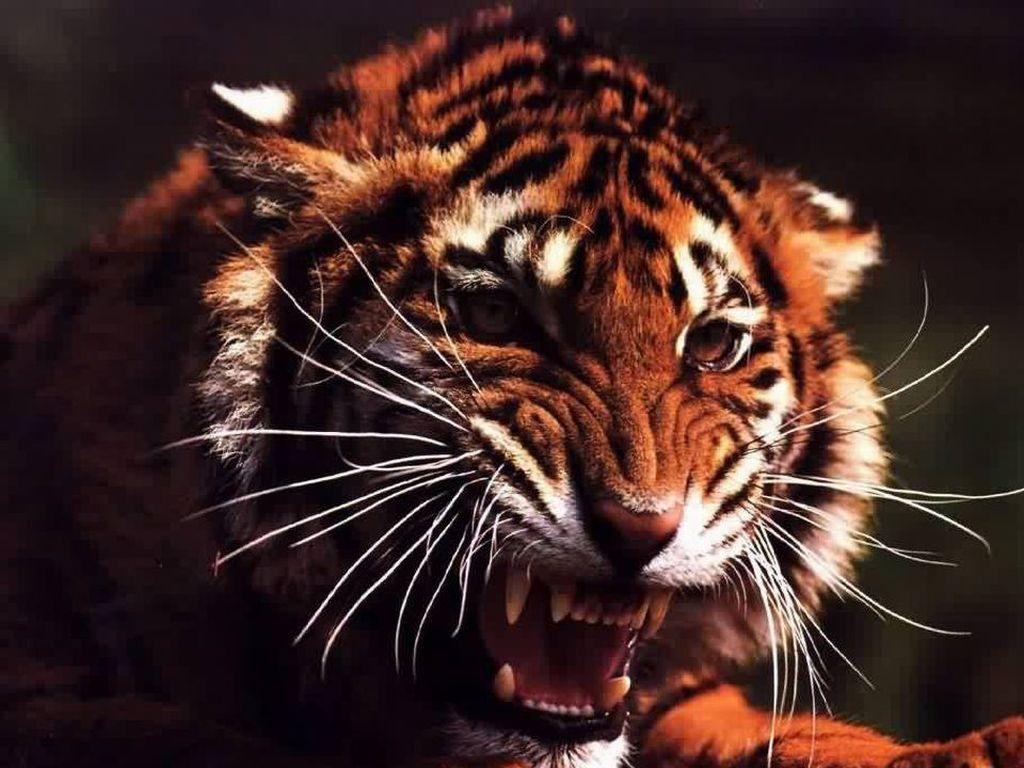 Marotochi sfondi - Colorazione pagina di tigre ...